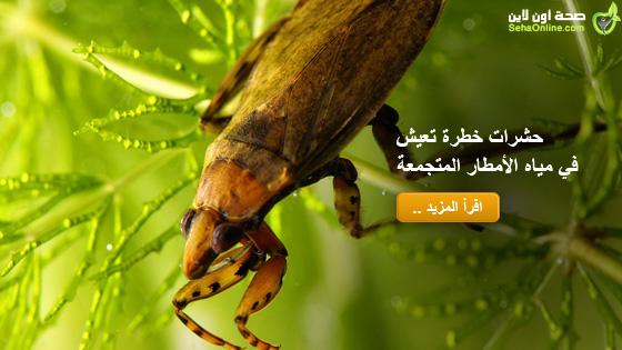 حشرات خطرة تعيش في مياه الأمطار المتجمعةّ