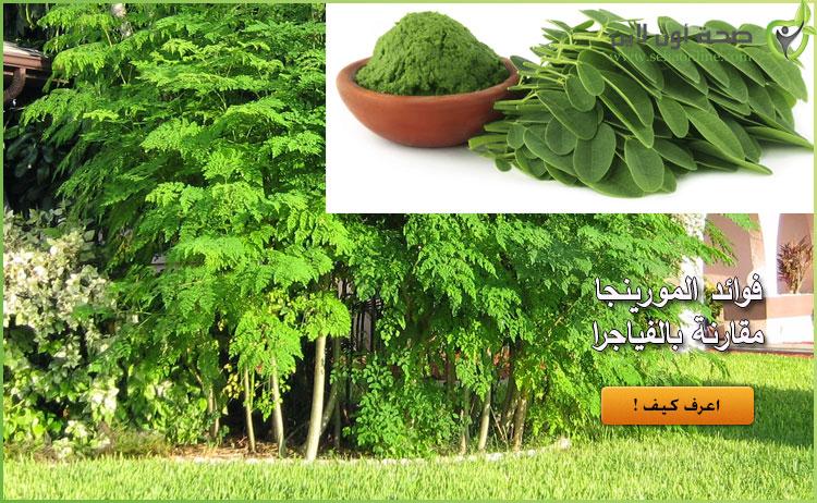 نبتة المورينجا المصرية قد تعادل قوة الفياجرا