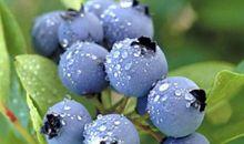 العنب البري النيء