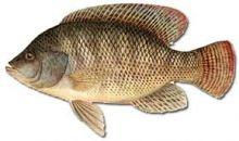 السعرات الحرارية في السمك البلطي