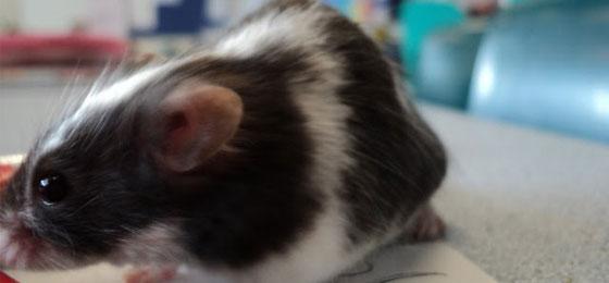 أمل جديد لفاقدي البصر تفتحه عملية ناجحة لفئران كفيفة