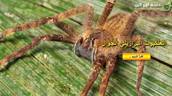 سم عنكبوت برازيلي بديلا لـلفياغرا